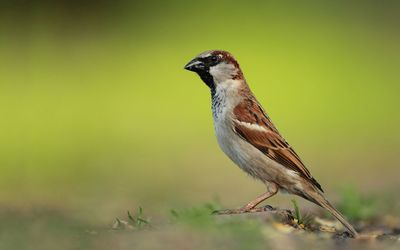 Sparrow on the ground wallpaper