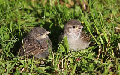 Sparrows wallpaper