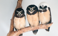 Spectacled owls wallpaper 1920x1200 jpg