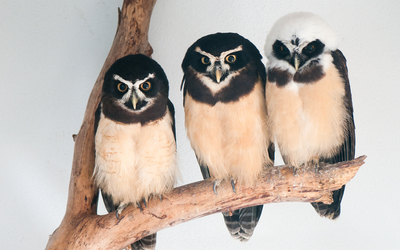 Spectacled owls wallpaper