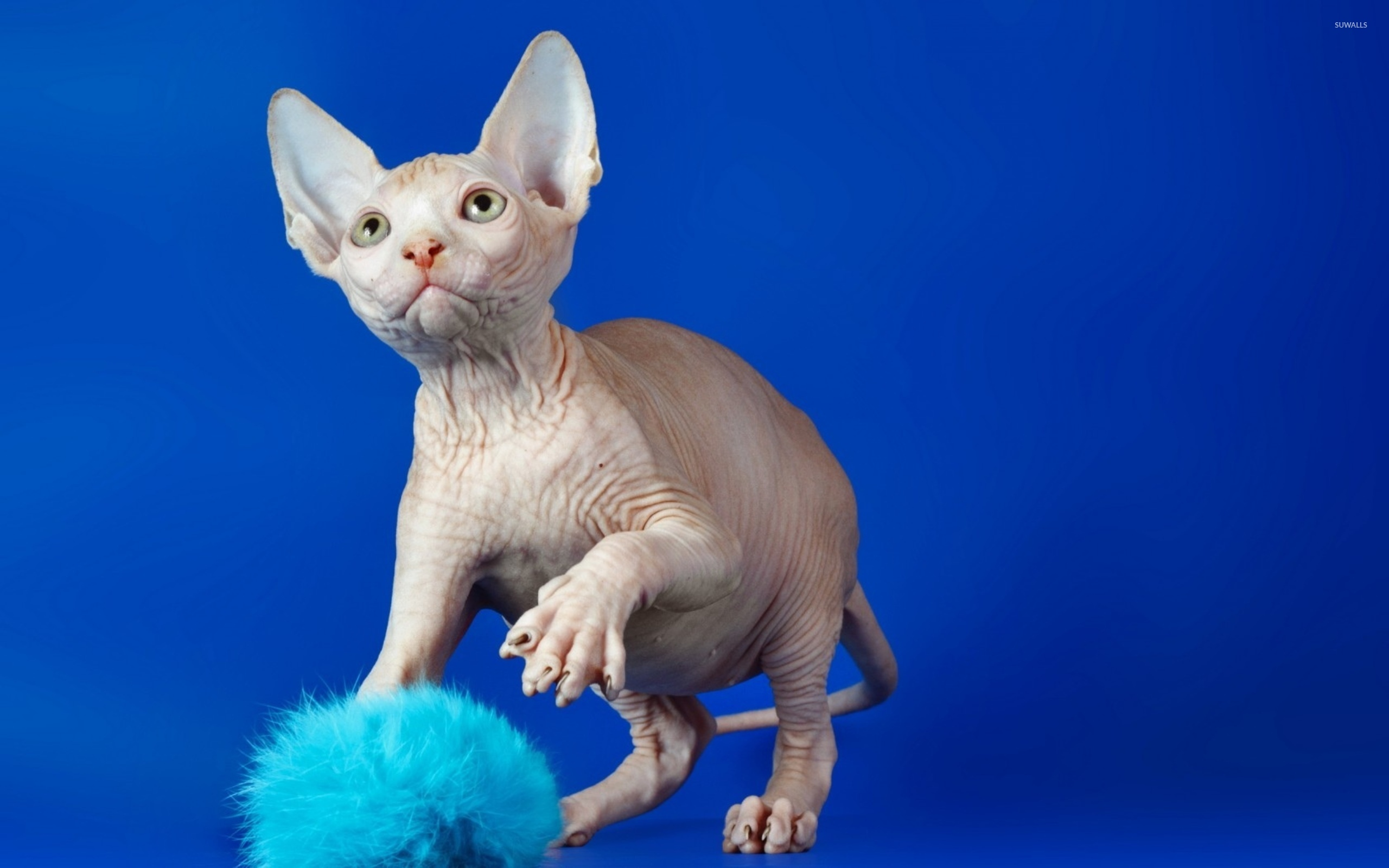 Sphynx Cat Kitten Cute