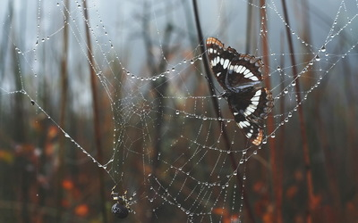 Spider and Butterfly wallpaper