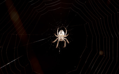Spider on its web wallpaper