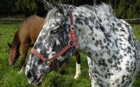 Spotted horse wallpaper 1920x1200 jpg