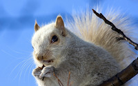 Squirrel [11] wallpaper 1920x1200 jpg