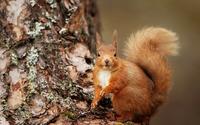 Squirrel [9] wallpaper 1920x1200 jpg