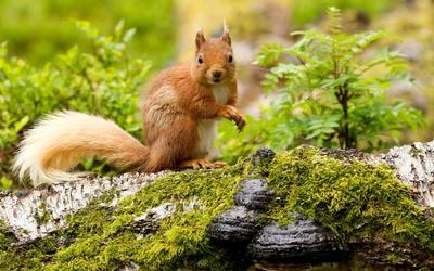 Squirrel [10] wallpaper