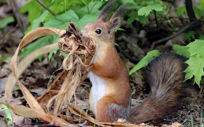 Squirrel [13] wallpaper