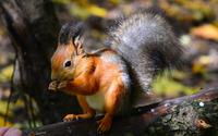 Squirrel [6] wallpaper 2560x1600 jpg