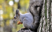 Squirrel [14] wallpaper 2560x1600 jpg