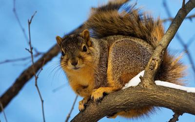 Squirrel [3] wallpaper