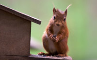 Squirrel [5] wallpaper 1920x1200 jpg