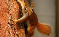 Squirrel [4] wallpaper 1920x1200 jpg