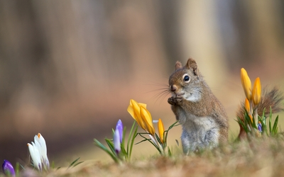 Squirrel between crocuses wallpaper