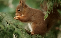 Squirrel eating wallpaper 1920x1080 jpg