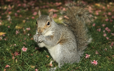 Squirrel eating [5] wallpaper