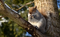 Squirrel eating a nut wallpaper 2560x1600 jpg