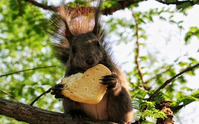 Squirrel eating bread on the tree wallpaper