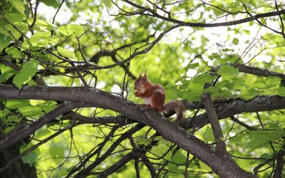 Squirrel eating in a tree wallpaper