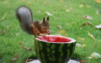 Squirrel eating the watermelon wallpaper 1920x1200 jpg