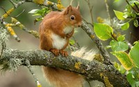 Squirrel in a tree wallpaper 1920x1200 jpg