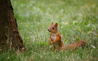 Squirrel in grass wallpaper 1920x1200 jpg