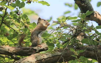 Squirrel in the mulberry tree wallpaper