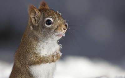 Squirrel in the snow wallpaper