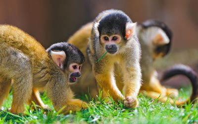 Squirrel Monkey wallpaper
