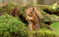 Squirrel on a mossy tree wallpaper 2560x1600 jpg