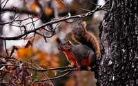 Squirrel on a tree wallpaper 1920x1200 jpg