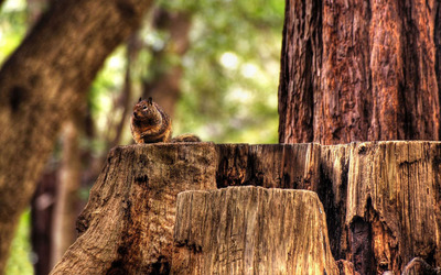 Squirrel on a tree trunk wallpaper