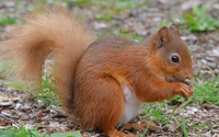Squirrel on the forest floor wallpaper 2560x1600 jpg