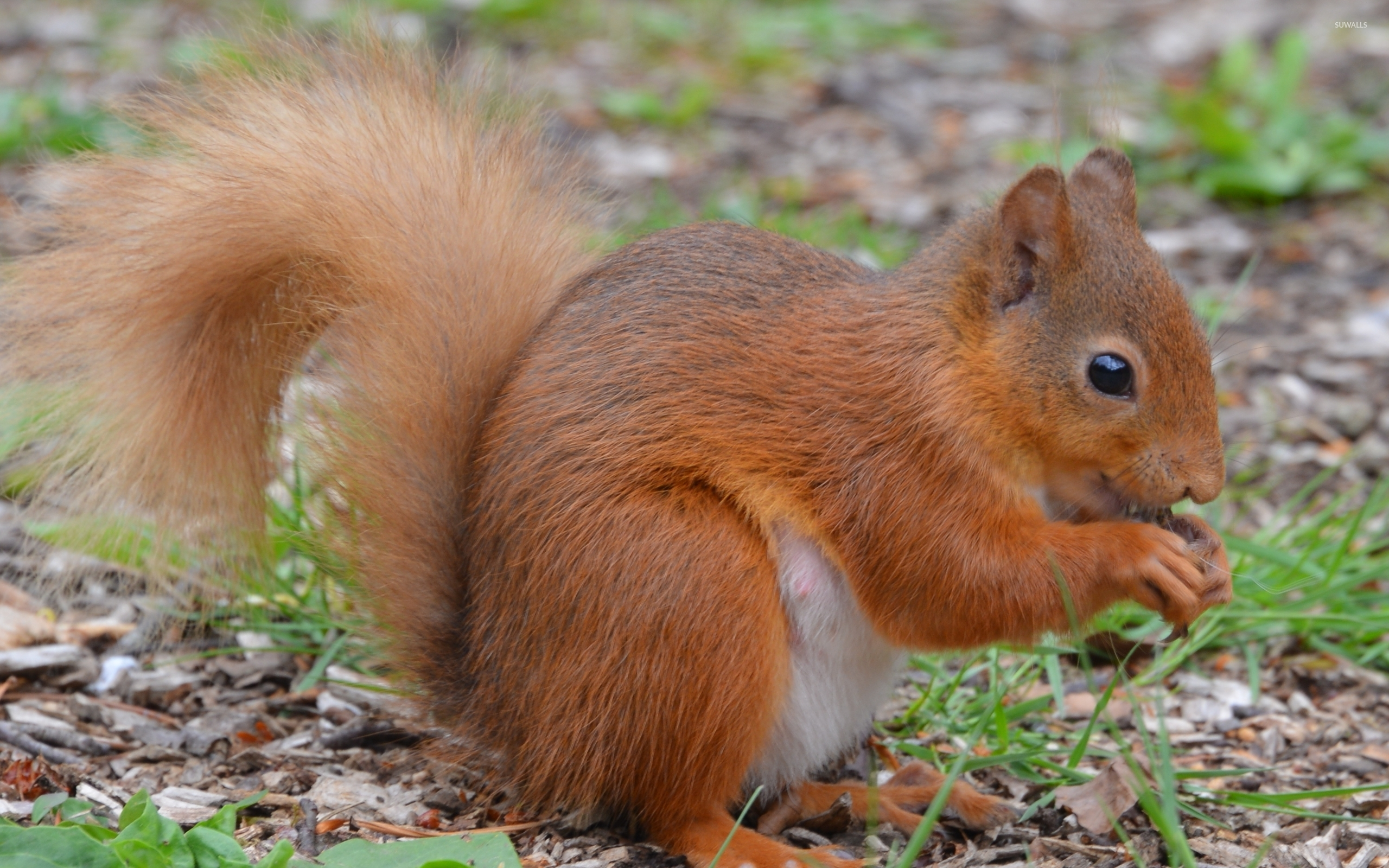 Marvelous Squirrel On The Forest Floor Wallpaper