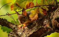 Squirrel on the oak tree wallpaper 1920x1200 jpg