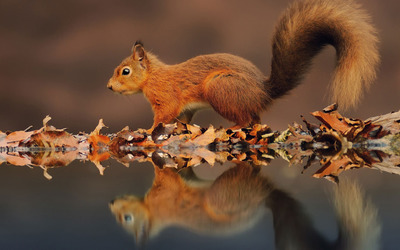 Squirrel reflected in the water wallpaper