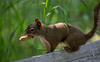 Squirrel with a peanut wallpaper 2560x1600 jpg