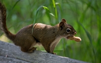 Squirrel with a peanut in its mouth wallpaper 2560x1600 jpg
