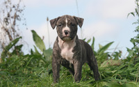 Staffordshire Bull Terrier wallpaper 2560x1600 jpg