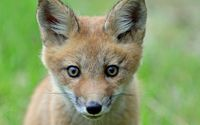 Staring fox cub wallpaper 1920x1200 jpg