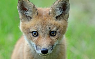 Staring fox cub Wallpaper