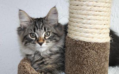 Staring gray kitten wallpaper