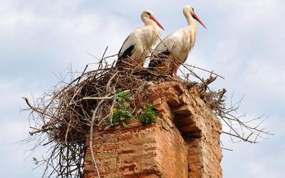 Storks in the nest on top of the horn wallpaper