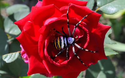 Striped spider on red rose wallpaper