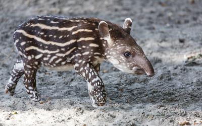 Striped tapir wallpaper