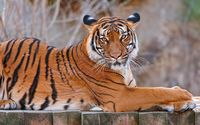 Sumatran tiger wallpaper 1920x1200 jpg