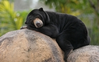 Sun bear dozing off on a rock wallpaper 2560x1600 jpg