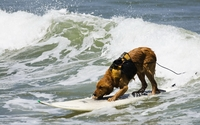 Surfing dog wallpaper 2560x1600 jpg