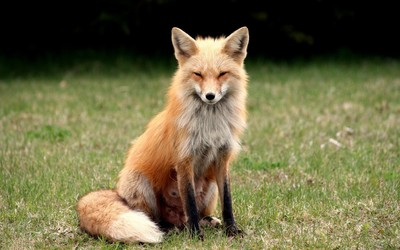 Suspicious fox wallpaper
