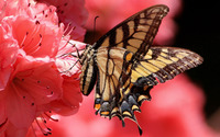 Swallowtail butterfly wallpaper 1920x1200 jpg